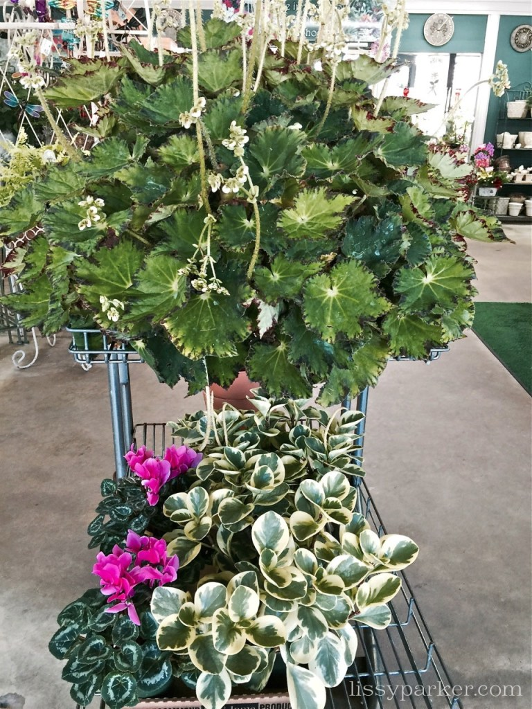 Here is the cart headed to my house—the begonia is amazing