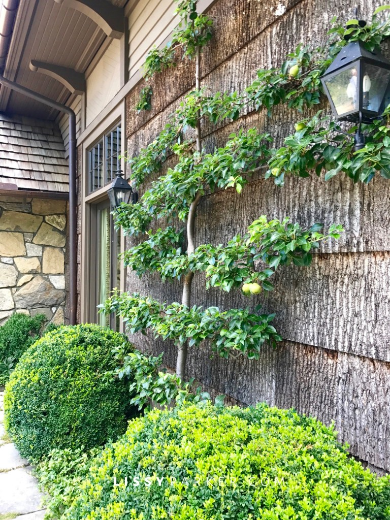 apple and pear espalier