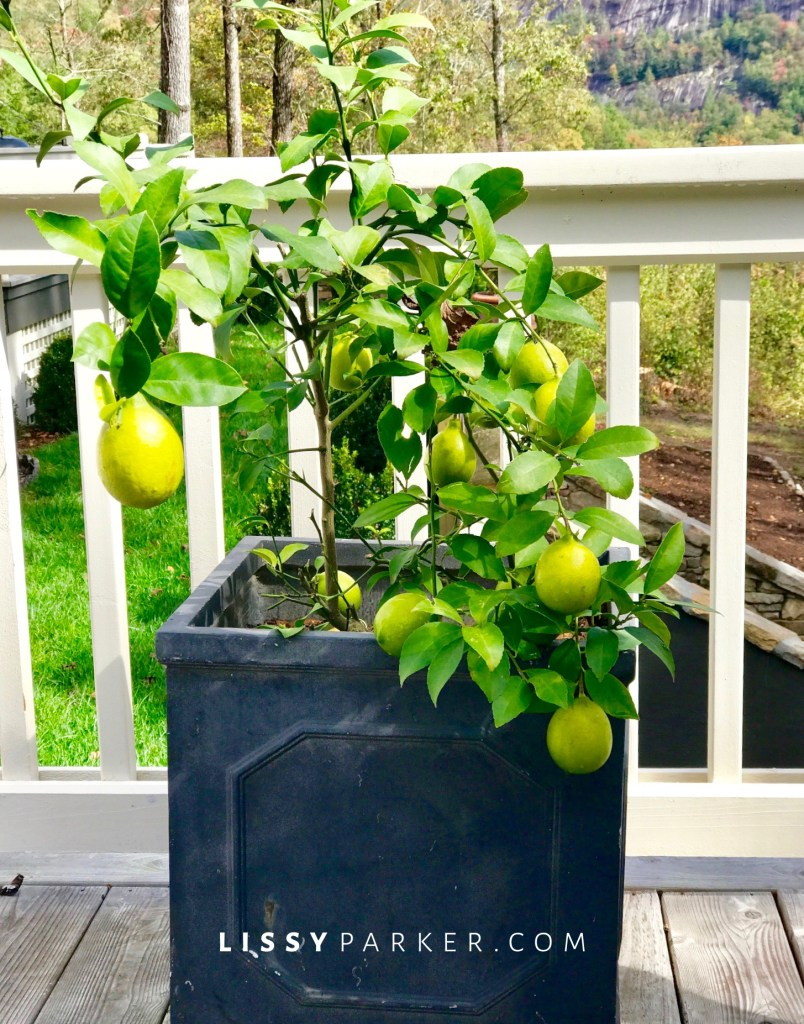 lemon trees in containers