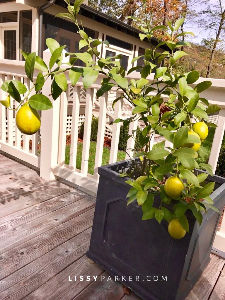 arching lemon tree