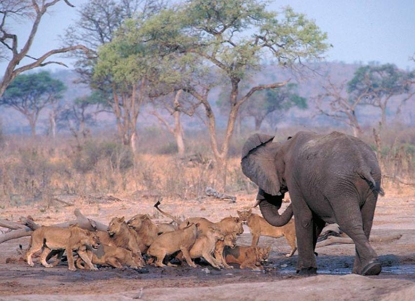 elephant-fighting-lions