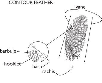 Digital illustration of feather, showing structure for waterproofing