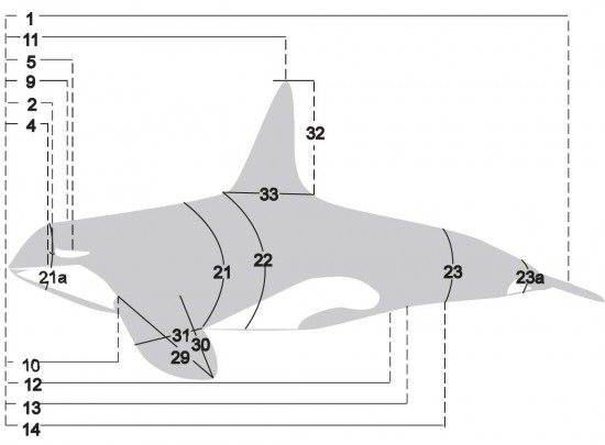 digital drawing of an orca showing cut lines for necropsy