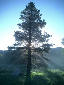Pine Tree Med