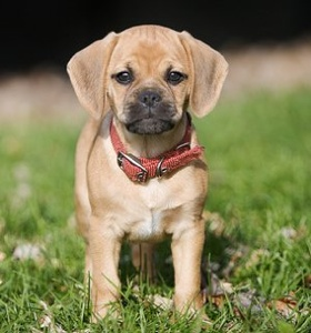 Puggle