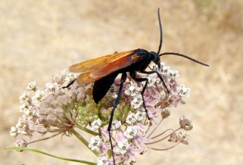 800Px-Dsc05816 Tarantula Hawk-1