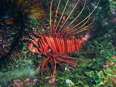 75378513.Cvfnhicy.Lionfish02
