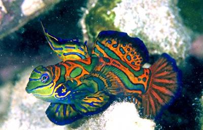 Mandarinfish3-28-77-636X4