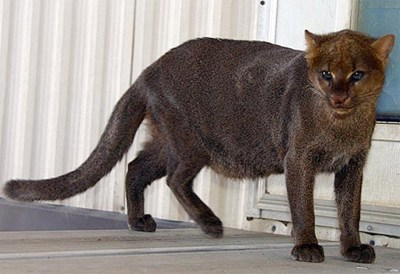 Jaguarundi2