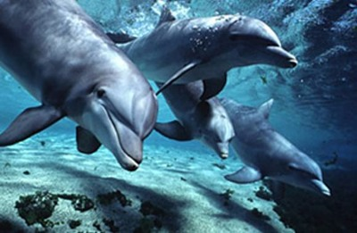 Dolphins-Bottlenose.Jpg