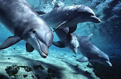 Dolphins-Bottlenose.Jpg
