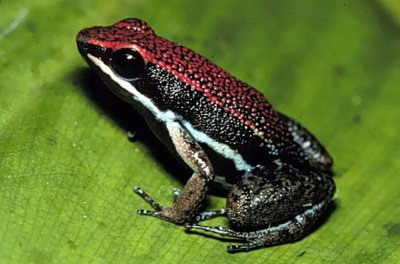Poison Frog4.Jpg