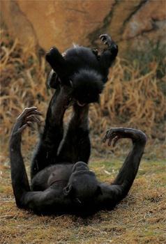 Bonobo Nb07