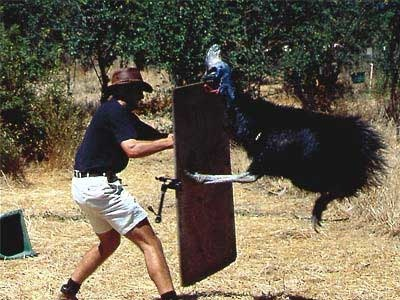 Cassowary-Attack-2