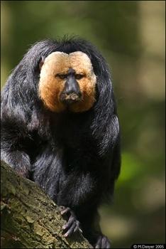 Saki Monkeyc