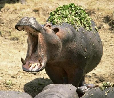 Gtotem Hippopotamus
