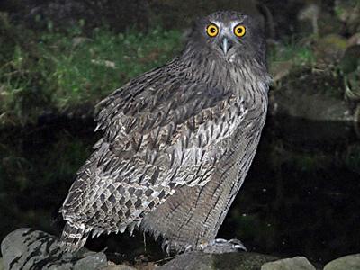 Blakistons-Fish-Owl Img01-L