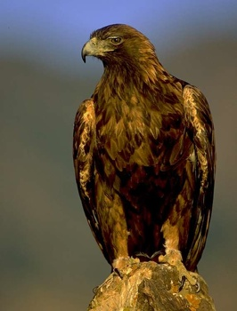 Golden Eagle Lg