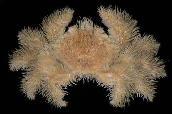 Hairy-Crab