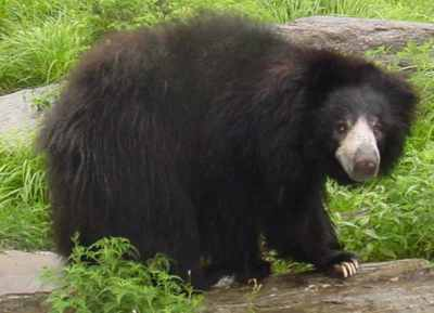 Sloth-Bear