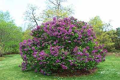 how to draw a lilac bush