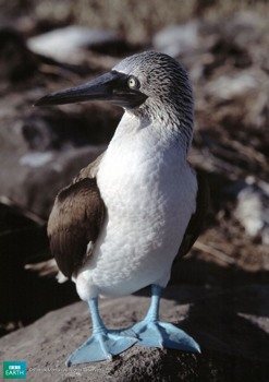 Bbc-Lifeis-Bluefootedbooby
