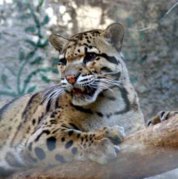 Clouded Leopard400X400