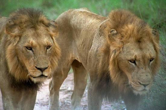 01 28 1---Lions Web