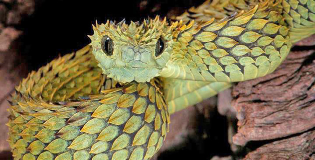 [Image: Atheris-hispida.jpg?fit=1024%2C1024]