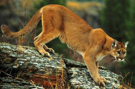 Cougar5