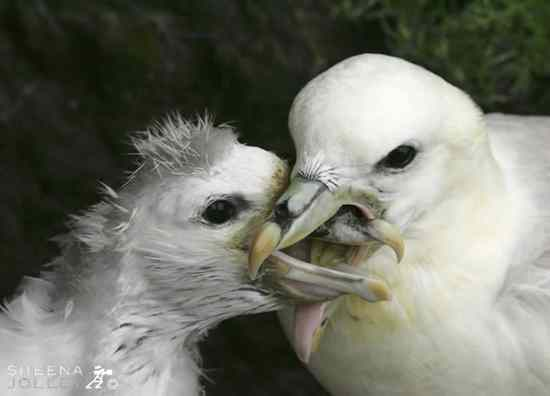 Fulmar Feeding Young Chick