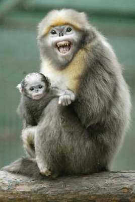 Snub Nosed Monkey