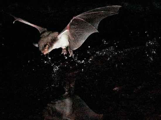 Fishing-Bats-Europe 29315 600X450