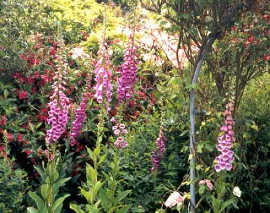 Foxglove-Flowers