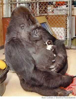 Biggest Gorilla Ever Recorded Female lowland gorilla who