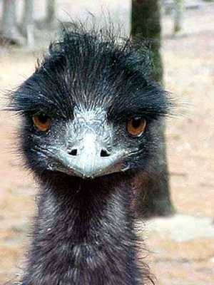 Emu Face