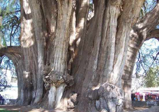 10-Most-Magnificent-Trees-In-The-World-Montezuma-Cypress-The-Tule-Tree-7