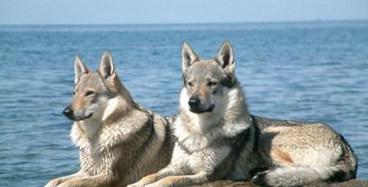 Czechoslovakian_Wolfdog_pair