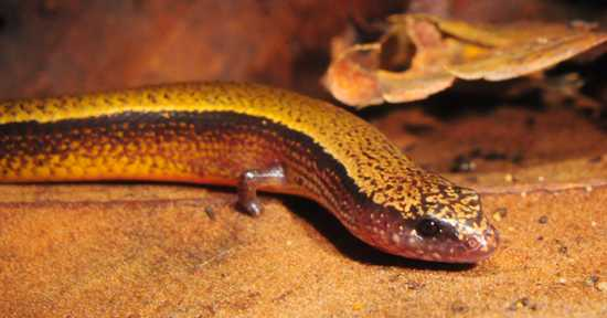 The-Three-Toed-Skink-Saiphos-Equalis