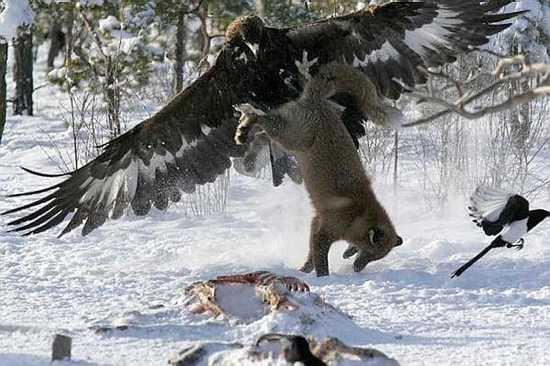 Eaglefox