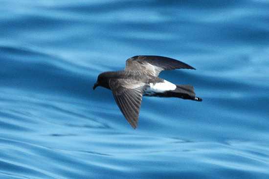Oceanites Maorianus