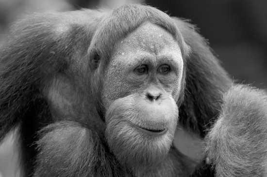 Orangutan Bw-E1280771919943