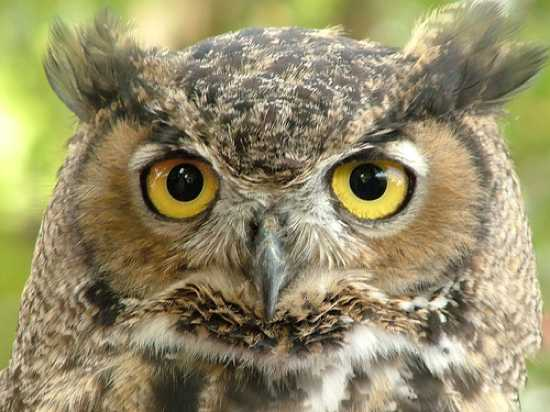 Great%20Horned%20Owl