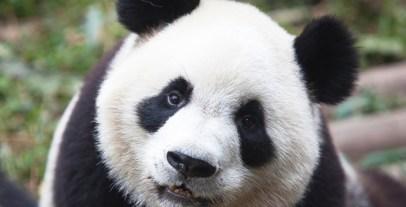 panda_iStock_000018884983Medium