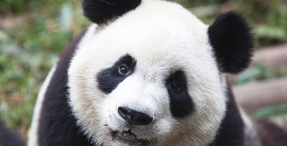 panda_iStock_000018884983Medium
