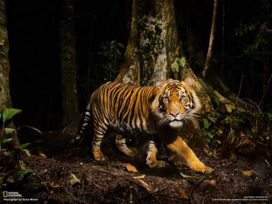 01-Tiger-Looks-At-Camera-Sumatra 1600