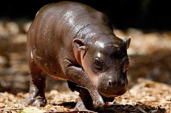 Baby-Pygmy-Hippo-Monifa-Taronga-Zoo-Sydney1