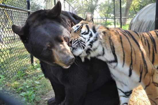 Mixed-Species-Bear-And-Tiger-Nuzzle