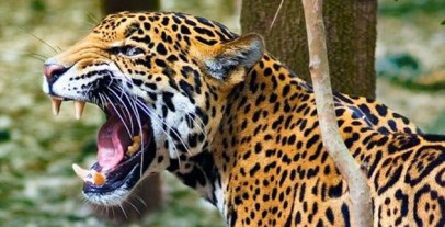 angry-jaguar.