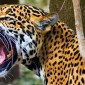 angry-jaguar.